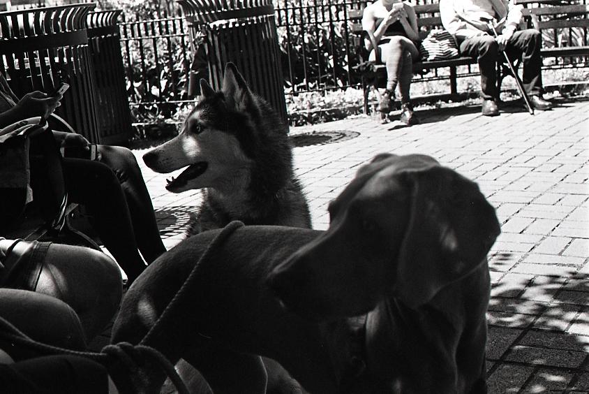 nycdogs